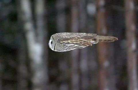 owlflying